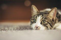 Porträt einer shorthair Katze mit den schönen und spielerischen Augen niederlegend aus den Grund im weichen natürlichen Licht stockbilder