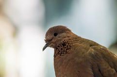 Porträt einer Taube Lizenzfreie Stockbilder