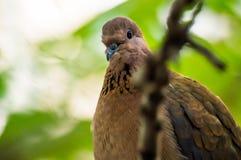 Porträt einer Taube Stockfotos
