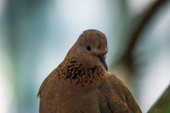 Porträt einer Taube Stockfotografie