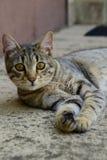 Porträt einer Tigerkatze mit den gelben Augen, die auf einem konkreten Boden, Katze auf der linken Seite des Fotos liegen Lizenzfreies Stockfoto
