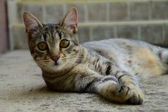 Porträt einer Tigerkatze mit den gelben Augen, die auf einem konkreten Boden, Katze auf der linken Seite des Fotos liegen Lizenzfreies Stockbild