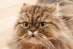 Porträt einer traurigen persischen Katze Stockfoto