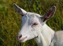 Porträt einer weißen jungen Ziegennahaufnahme Stockbilder