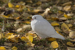 Porträt einer weißen Taube Lizenzfreies Stockfoto