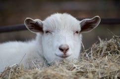 Porträt einer weißen Ziege, die vorwärts schaut Stockfotos