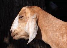Porträt einer Ziege Lizenzfreies Stockbild