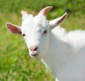 Porträt einer Ziege Stockfotos