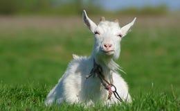 Porträt einer Ziege Lizenzfreie Stockfotos