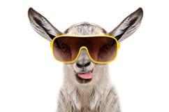 Porträt einer Ziege in der Sonnenbrille, die Zunge zeigt Lizenzfreie Stockfotos