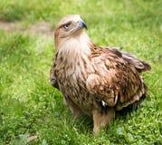 Porträt eines Adlers auf einem Hintergrund des grünen Grases Stockbild