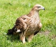 Porträt eines Adlers auf einem Hintergrund des grünen Grases Lizenzfreie Stockfotografie