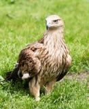 Porträt eines Adlers auf einem Hintergrund des grünen Grases Stockfotografie