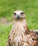 Porträt eines Adlers auf einem Hintergrund des grünen Grases Stockfoto