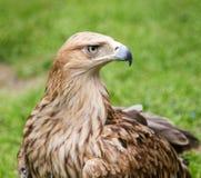 Porträt eines Adlers auf einem Hintergrund des grünen Grases Lizenzfreie Stockfotos