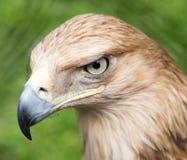 Porträt eines Adlers auf einem Hintergrund des grünen Grases Stockbilder