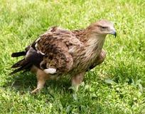 Porträt eines Adlers auf einem Hintergrund des grünen Grases Stockfotos