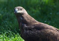 Porträt eines Adlers im Zoo Stockbilder