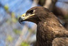 Porträt eines Adlers im Zoo Stockfotos