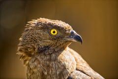 Porträt eines Adlervogels Lizenzfreie Stockfotos