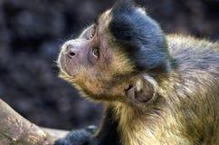 Porträt eines Affen Stockfoto
