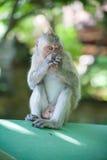 Porträt eines Affen Lizenzfreie Stockfotografie