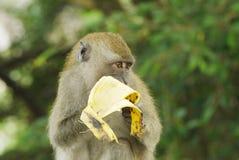 Porträt eines Affen Stockfotografie