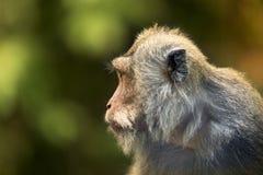 Porträt eines Affen Lizenzfreie Stockfotos
