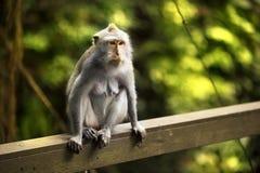Porträt eines Affen Lizenzfreies Stockfoto