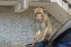 Porträt eines Affen auf Auto Stockfotografie