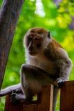 Porträt eines Affen auf einem Zaun Stockbilder