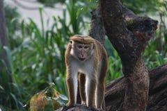 Porträt eines Affen, der auf einem Stein steht Lizenzfreies Stockbild