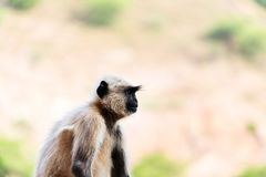 Porträt eines Affen Gray Langur in Indien Lizenzfreie Stockfotos