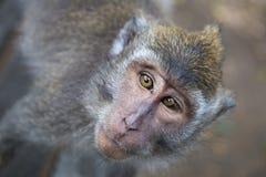 Porträt eines Affen, langschwänziger Makaken, Abschluss oben Stockfoto