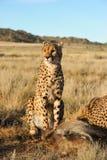 Porträt eines afrikanischen Gepards, der seine Mahlzeit schützt Stockfotografie