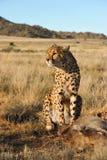 Porträt eines afrikanischen Gepards, der seine Mahlzeit schützt Lizenzfreies Stockfoto