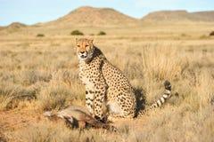 Porträt eines afrikanischen Gepards, der seine Mahlzeit schützt Lizenzfreies Stockbild