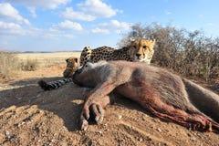 Porträt eines afrikanischen Gepards, der seine Mahlzeit schützt Lizenzfreie Stockfotografie