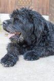 Porträt eines alten schwarzen Hundes im Hinterhof Stockbild