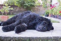 Porträt eines alten und müden schwarzen Hundes, der im Hinterhof liegt Stockbilder