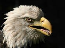 Porträt eines amerikanischen Weißkopfseeadlers getrennt auf Schwarzem Lizenzfreies Stockfoto