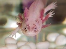 Porträt eines Axolotl Stockfotografie