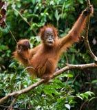 Porträt eines Babyorang-utans Nahaufnahme indonesien Die Insel von Kalimantan u. von x28; Borneo& x29; lizenzfreies stockbild
