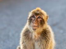 Porträt eines Barbary-Makakens Stockbild