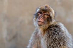 Porträt eines Barbary-Makakens Lizenzfreies Stockbild