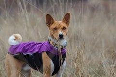 Porträt eines Basenji-Hundes in der Kleidung Stockfotos