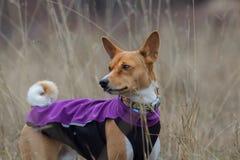 Porträt eines Basenji-Hundes in der Kleidung Stockbild