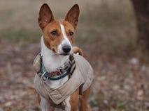 Porträt eines Basenji-Hundes im Winter kleidet Lizenzfreie Stockfotografie