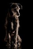 Porträt eines behaarten Terrierhundes des grauen Drahtes Stockbild