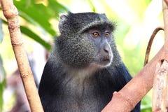 Porträt eines Blau diademed Affen Lizenzfreie Stockbilder